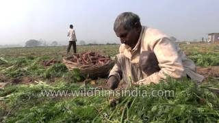 Agriculture in India: Harvest day for Carrot farmers in Delhi's outskirts