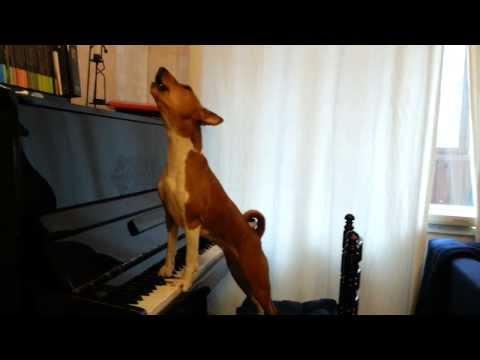 Поющая басенджи (singing  basenji)