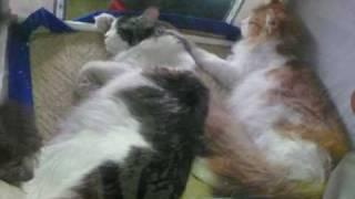 Кошки - это кошки (или картинки с выставки)