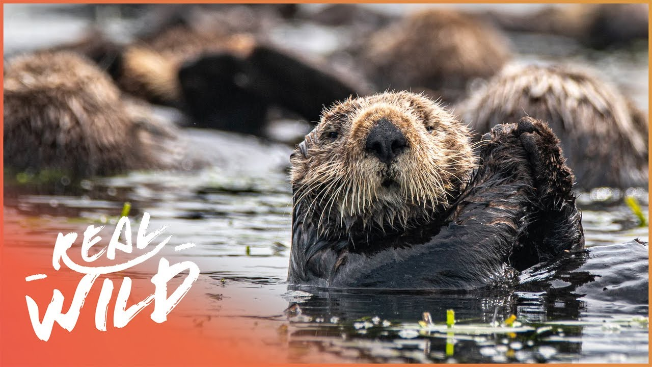 The Sea Otter's 100 Year Comeback (Wildlife Documentary)   Natural Kingdom   Real Wild
