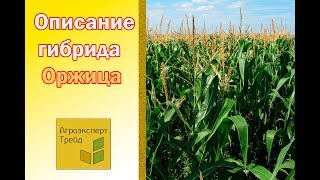 Кукуруза Оржица  🌽 - описание гибрида 🌽, семена в Украине