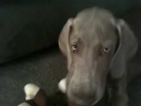 Barley The Weimaraner Playing In Apartment
