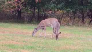 White Tailed Deer in my neighborhood.