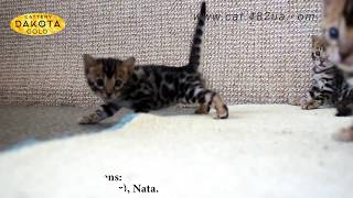Будни питомника бенгальской кошки Dakota Gold   малютки котята