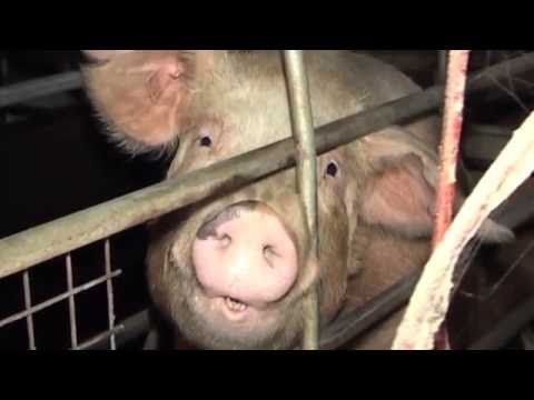 The factory farming and animal industry