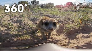 Funny meerkats playing in the desert 360 video - Animals with Cameras - Earth Unplugged