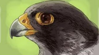 How to draw a Falcon head