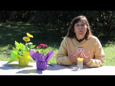 How to Fix Drooping Gerbera Daisies : Gerbera Plant Care