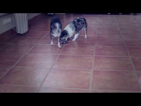 Как отучить собаку грызть вещи | Чихуахуа Софи