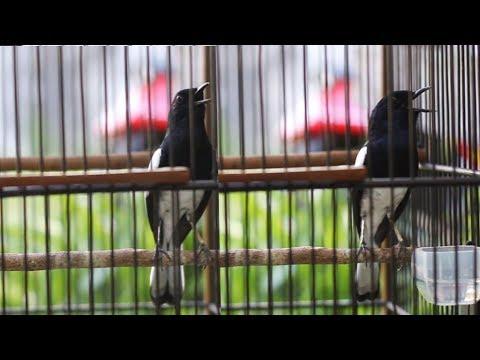 Kacer Anda Akan Fighter Setelah Dengan Suara Ini | Video dan Suara Kacer Nantang Musuh