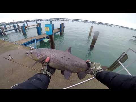 Big Atlantic Salmon From Michigan Harbor