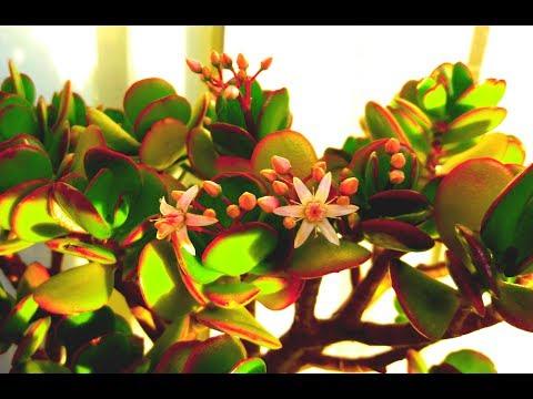 ДЕНЕЖНОЕ ДЕРЕВО ЦВЕТЕТ Как заставить цвести денежное дерево