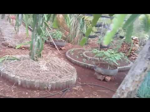 Dragon fruit farm in mystic island of Siquijor, Philippines