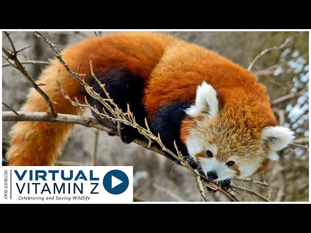 Virtual Vitamin Z | Red Pandas at the Detroit Zoo