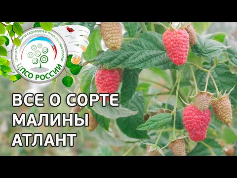 Сорт малины Атлант. Описание сорта ремонтантной малины Атлант от соавтора сорта. | ремонтантная | выращивание | вырастить | открытый | посадка | агроном | сажать | россии | огород | малина