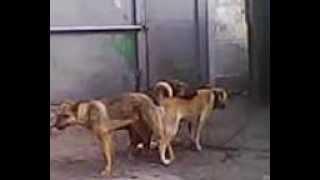 Любовное трио собак