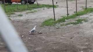 ревнивая галка, чайка и бедный голубь
