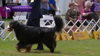Bernese Mountain Dogs | Breed Judging 2021