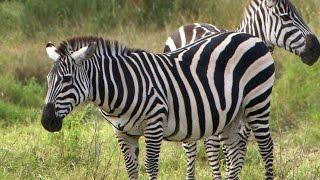 Are Zebras Black Or White
