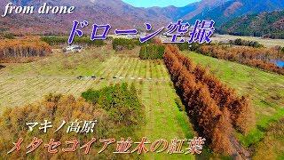 【マキノ高原】メタセコイア並木の紅葉【ドローン空撮】