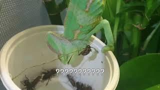 베일드카멜레온 먹방&귀뚜라미 사냥