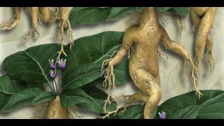 ماندراكورا : النبتة التي تصرخ و تقتل كل من يسمعها