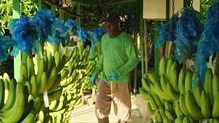 Смогут ли колумбийские бананы восстановить свою репутацию? (новости)