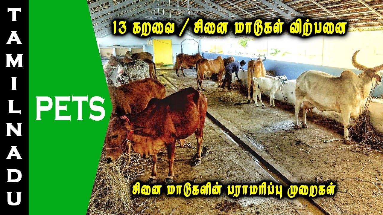 13 கறவை / சினை மாடுகள் விற்பனை | கிர்| சாஹிவால்| தார்பார்கர்| ராத்தி மாடுகள் | Tamilnadu Pets |tamil