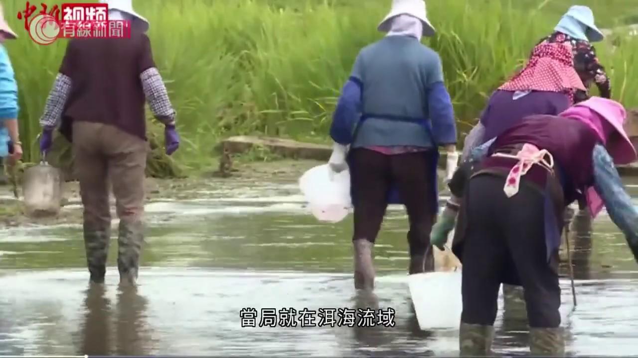 雲南福壽螺氾濫成災 寄生蟲蠶食農作物 - 20200706 - 有線中國組 - 有線新聞 CABLE News