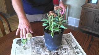 Propagating Sedum Plants