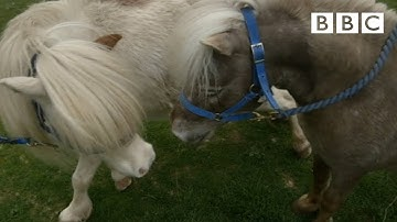 Miniature horses go dating ❤️ | Ronnie's Animal Crackers - BBC