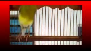 Kicau Mania | Burung KENARI | Isian Gacor Juara