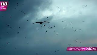 Slow Black Birds | Stock Footage - Videohive
