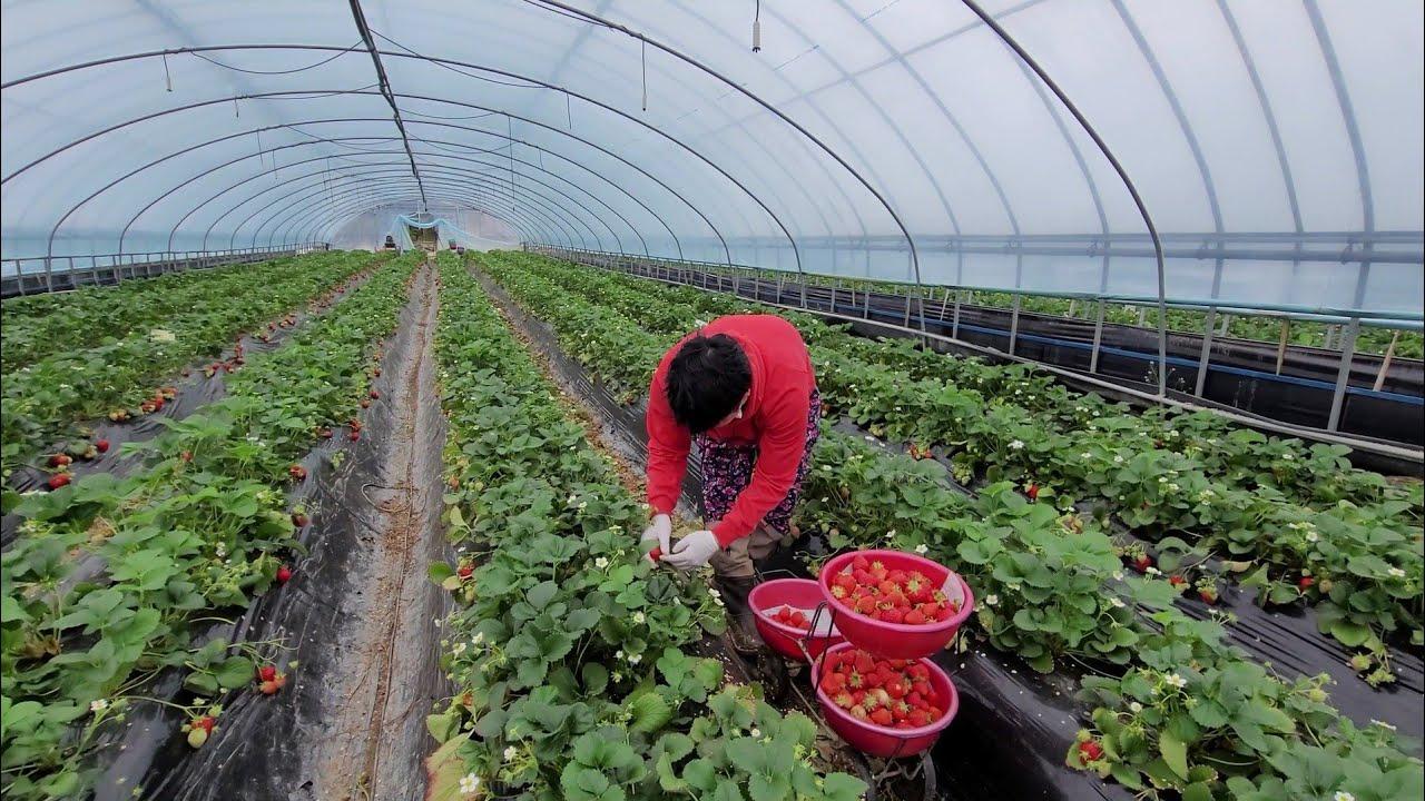 딸기 농장의 기적! Strawberry Harvest happy day