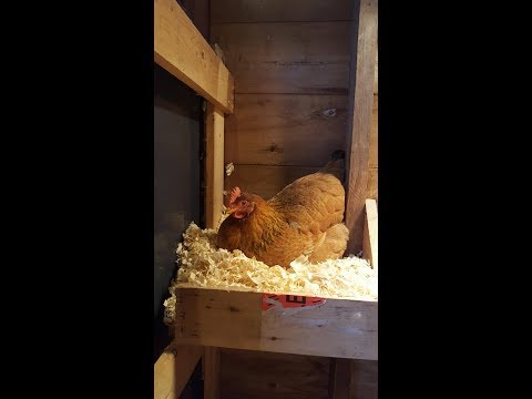 Hen laying an egg, from beginning to end!