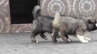 Продажа щенков Кавказская овчарка  Образец