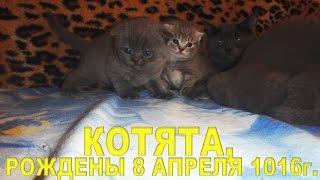 Купить котёнка: тел. 0507770818, видео 2.05.2016г., Скотиш спрайт, скотиш фолд, 5 котят.