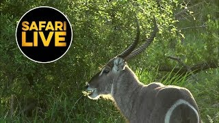 safariLIVE - Sunrise Safari - January 21, 2019
