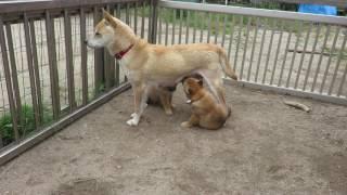 生後42日の山陰柴犬の子犬姉妹がオッパイを飲みます。