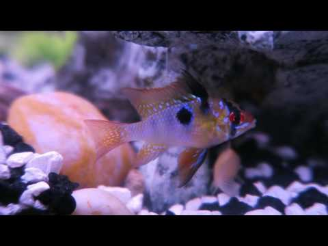 Our lil fish, blue rams and dwarf gourami