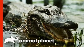 The Team's Most Challenging Alligator Catches! | Gator Boys