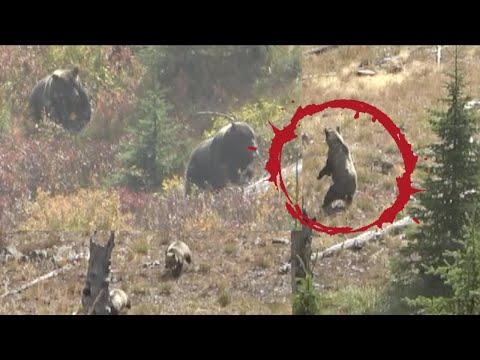5 GRIZZLIES RUN AT HUNTERS!! Adam's Black Bear – Limitless 73