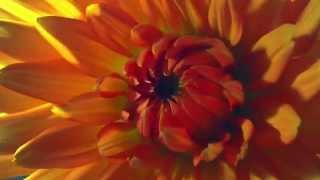 Как распускаются цветы таймлепс. Шикарно! Flowers in growth time lapse(, 2014-11-28T09:32:16.000Z)