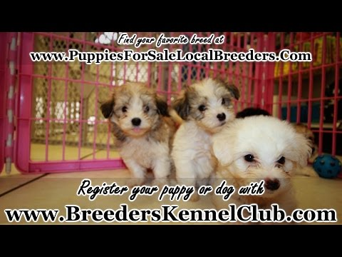 Yorkie Chon, Puppies, Dogs, For Sale, In Atlanta, Georgia, GA, Savannah, Sandy Springs, Roswell
