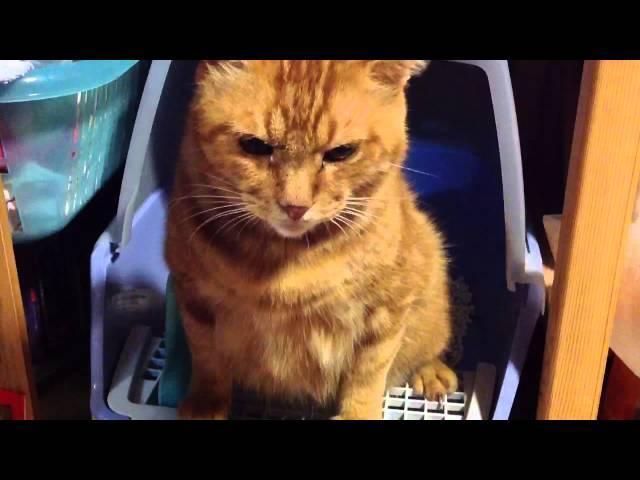 茶トラが真剣にトイレ中に、ちびっこ猫がちょっかいを出す