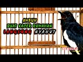 Burung Kacer Rumahan Ngoceh Malam Pancingan Ampuh Kacer Yang Bisu Langsung On  Mp3 - Mp4 Download