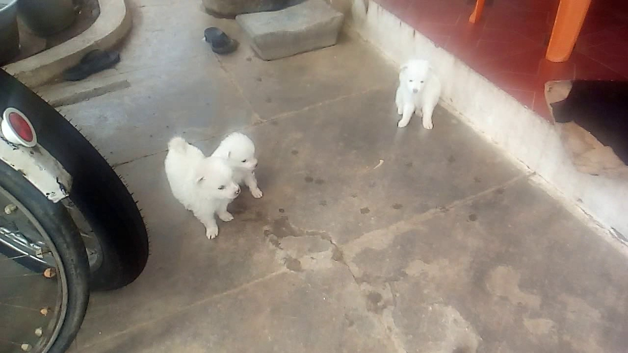 Dog for sale at tamilnadu rupees 1500 female male 3000