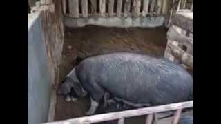Smell less pig farm Darjeeling, India