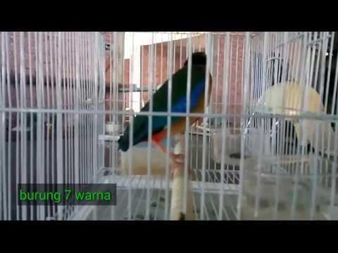 Burung surga tuju warna,alias burung langka yg di lindungi