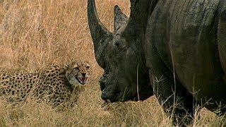 Baixar Curious Cheetah Cubs Take On A Rhino | BBC Earth
